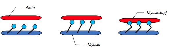 Muskelstruktur